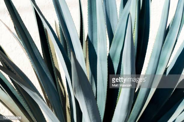 detail of blue agave in jalisco mexico - delstaten jalisco bildbanksfoton och bilder