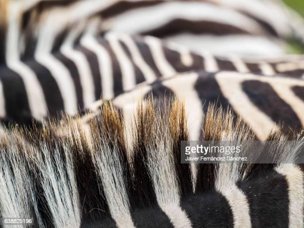 Detail of Burchell's Zebras mane. Equus quagga burchellii.