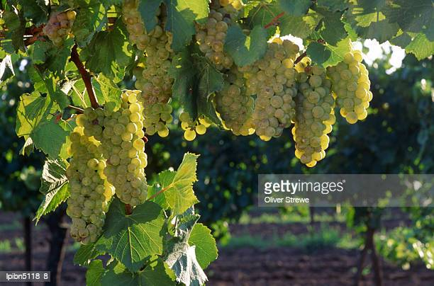 detail of chardonnay grape on the vine., hunter valley, new south wales, australia, australasia - chardonnay grape stock photos and pictures