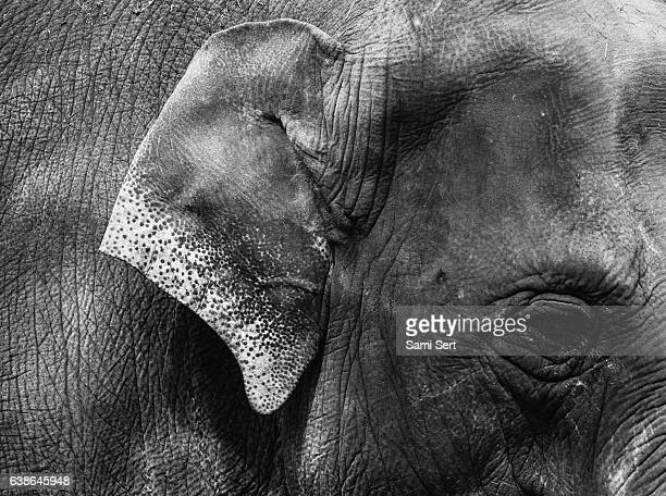detail of elephant - monochrome - elephant head stock-fotos und bilder