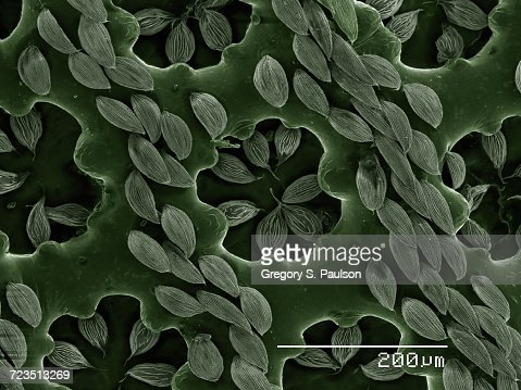 Detail of elytra of a recticulated beetle (Coleoptera: Cupedidae: Cupes sp.) imaged in a scanning electron microscope