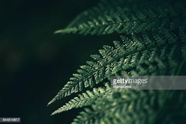Detail of fern leaf