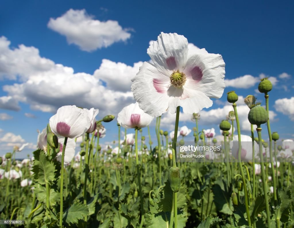 Detail Of Flowering Opium Poppy Papaver Somniferum Stock Photo
