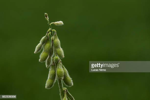Detail of green soybean plant