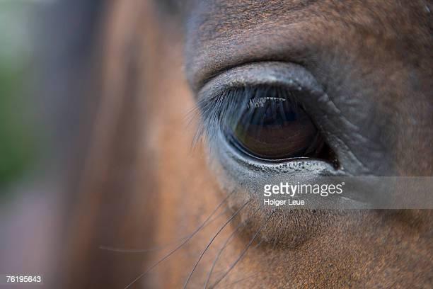 Detail of horses face, near Lough Ennell, near Mullingar.