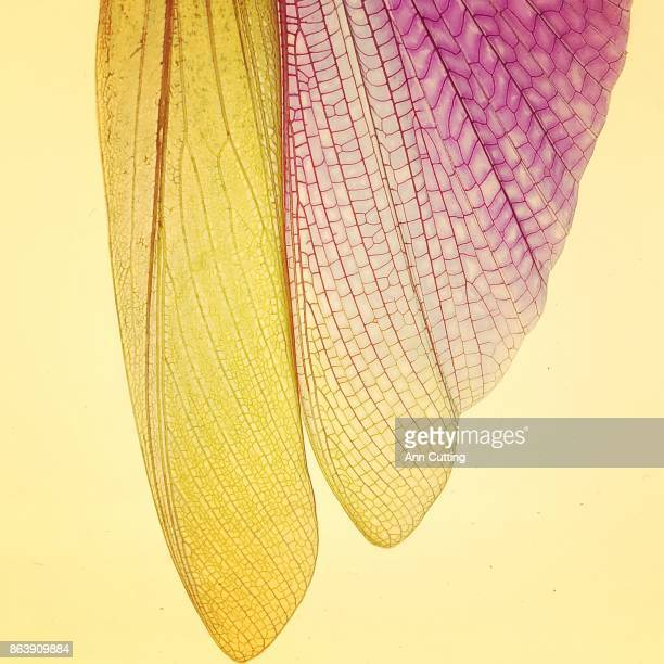 Detail of insect wing