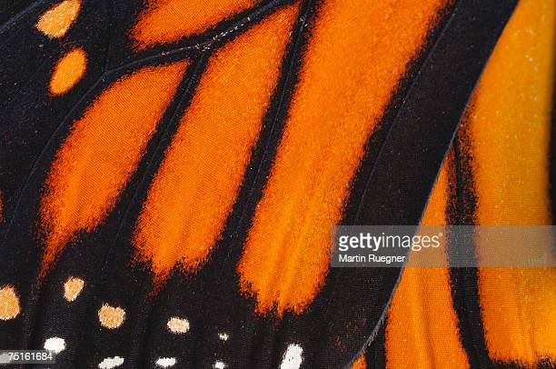 Detail of monarch butterfly (Danaus plexippus) wing