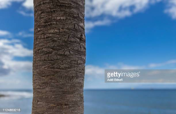 detail of palm tree trunk against sky (tenerife) - tree trunk stock photos and pictures