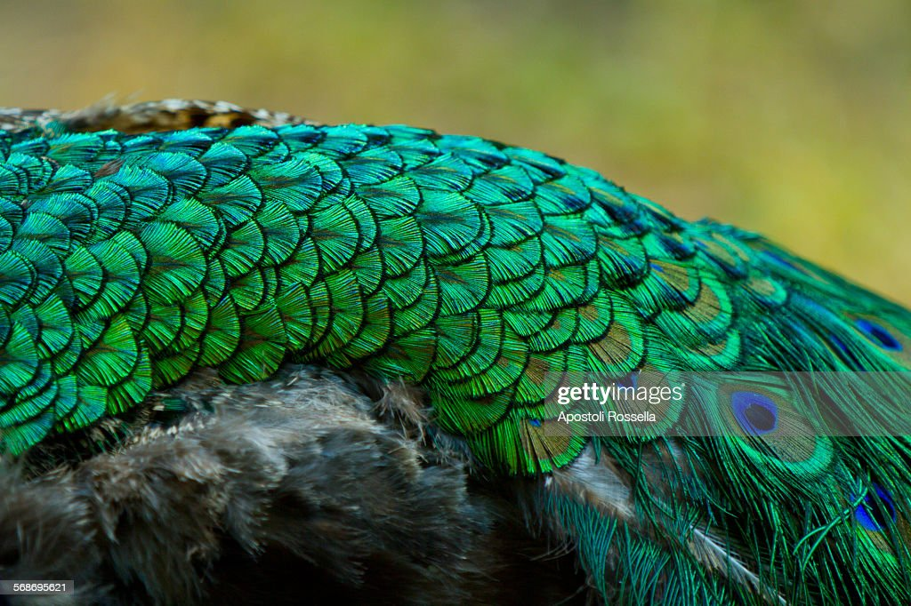 Detail of peacock feathers : Stock Photo