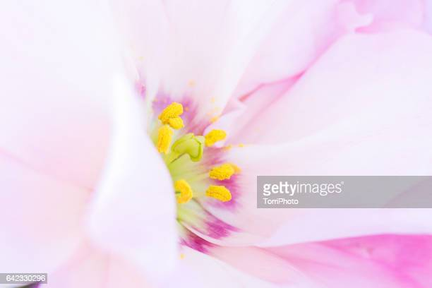 Detail of pink flower with yellow stamen