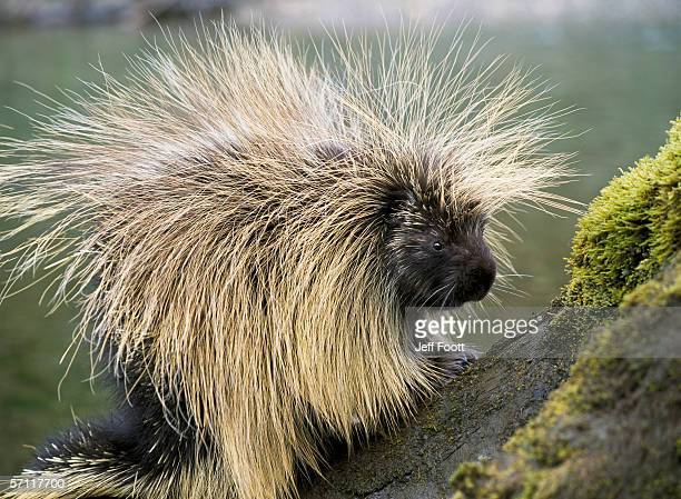 detail of porcupine standing on moss-covered tree trunk. erethizon dorsatum. alaska. - porcupine stock photos and pictures
