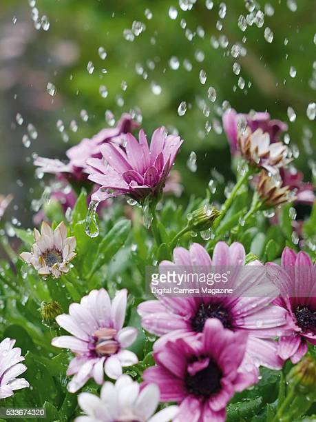 Detail of rain splashing down onto flowering gerbera daisy's taken on June 8 2015