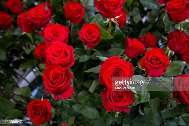 Detail of red roses during Sant Jordi's day celebrations on April 23, 2019 in Barcelona, Spain. Traditionally on this day couples exchange gifts, the...
