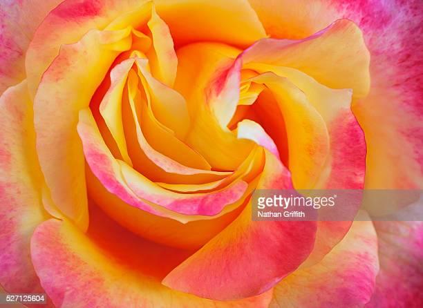 Detail of rose in bloom
