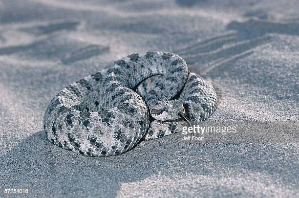 Detail of sidewinder on sand. Crotalus cerastes. Mojave Desert, California, North America.