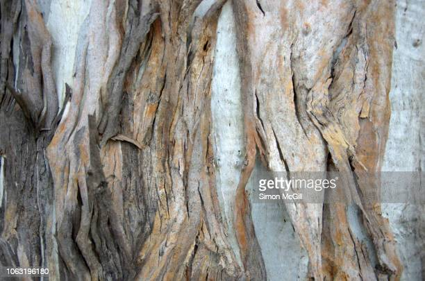 detail of the bark on the trunk of a eucalyptus tree - beige stock pictures, royalty-free photos & images