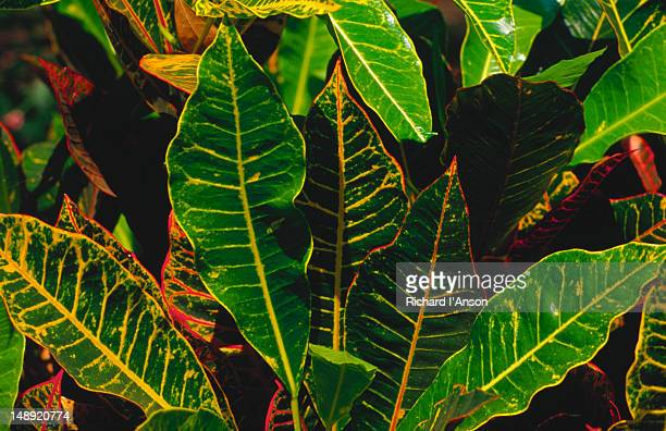 Detail of the coloured leaves of a croton (Codiaeum variegatum) in the Darwin Botanic Gardens.