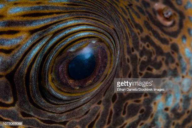 Detail of the eye of a blue-spotted pufferfish.