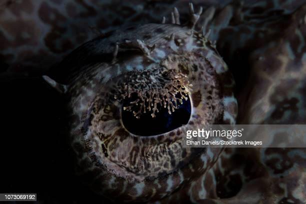 Detail of the eye of a large crocodilefish.