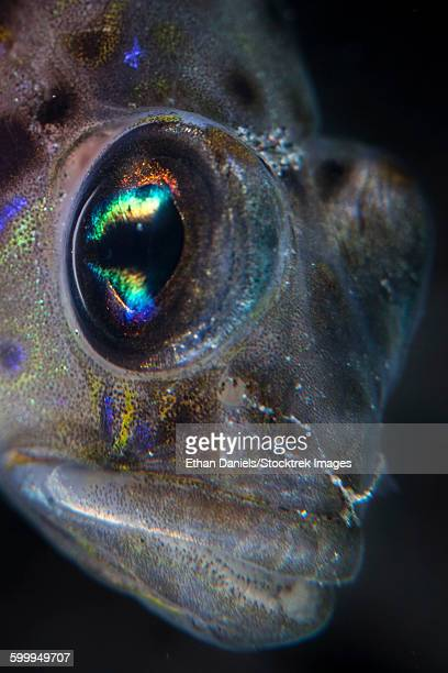 Detail of the face and eye of a goby fish.