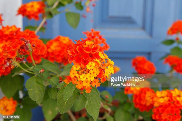 Detail of the orange flowers on a potted Lantana shrub in southern Spain taken on June 13 2013