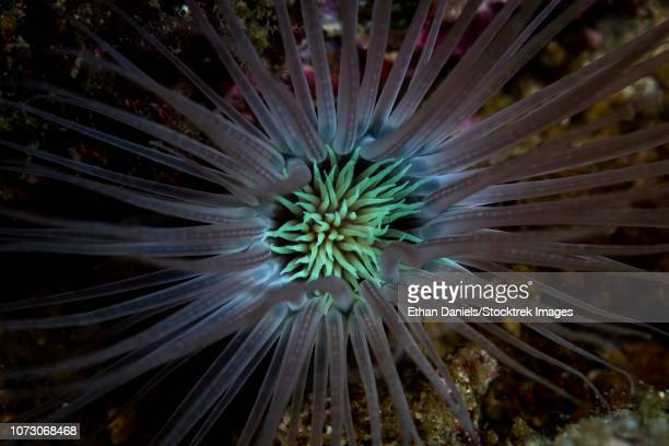detail of the tentacles of a tube anemone growing on a coral reef. - indo pacific ocean stock pictures, royalty-free photos & images
