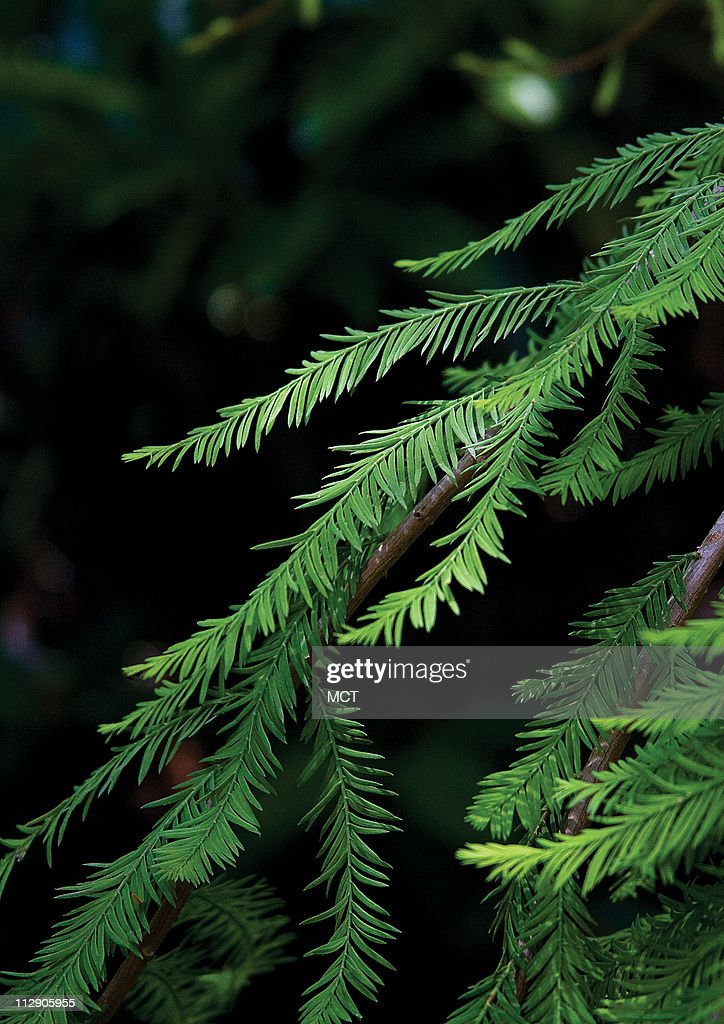 A Detail Of The Weeping Deodar Cedar News Photo Getty Images
