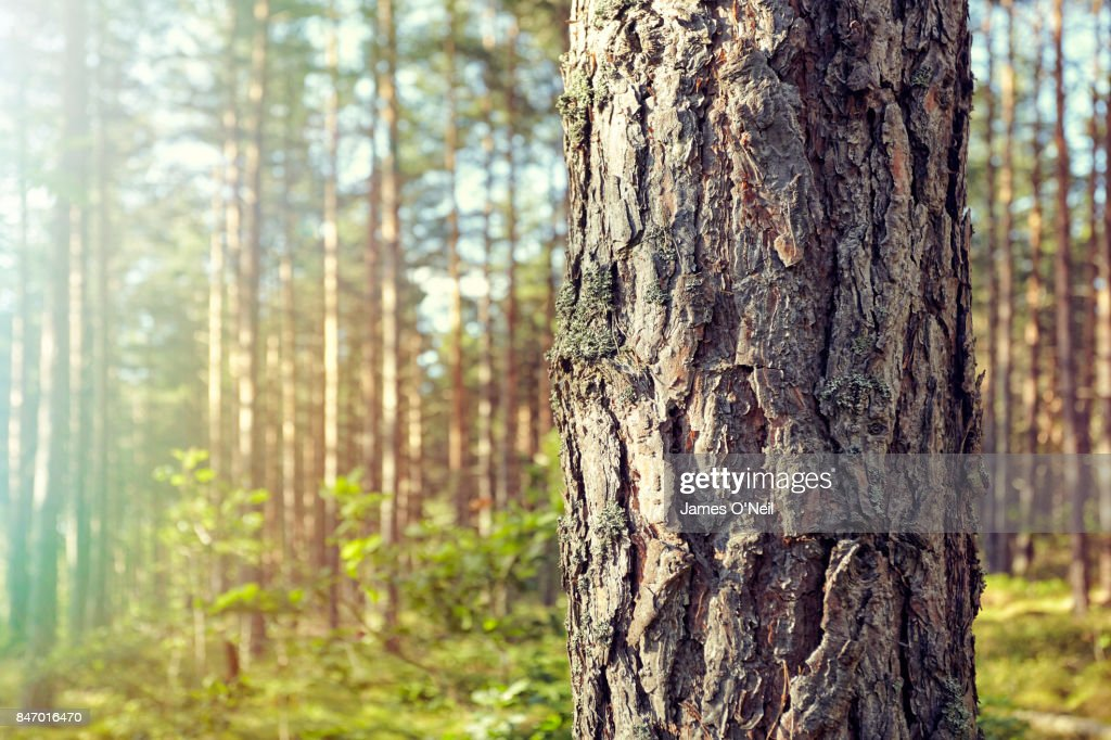 Detail of tree trunk with background forest : Stock-Foto