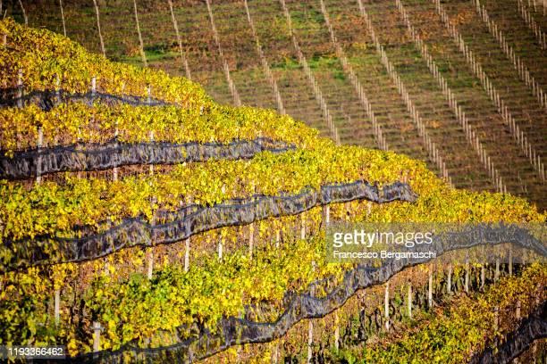 detail of vineyards of langhe in autumn. - italia ストックフォトと画像