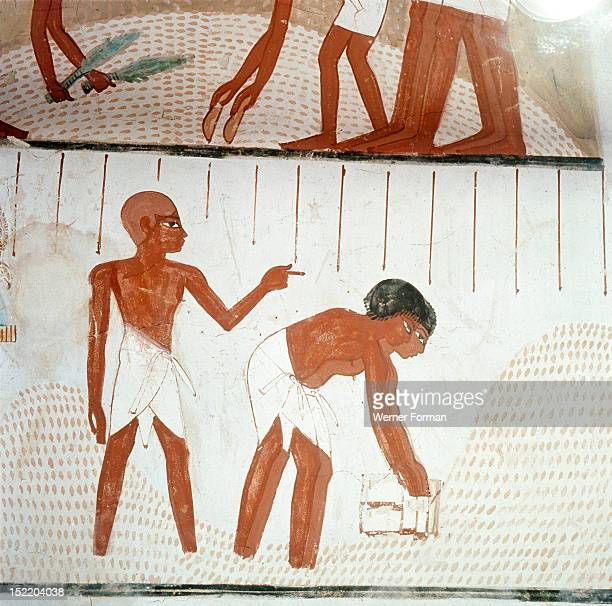 A detail of wall painting in the tomb of Menna showing the harvesting of the wheat Here two surveyors appear to be measuring the grain after it has...