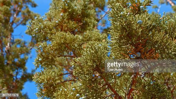 detail of western juniper tree and blue sky 1 spring sutton mountain john day great basin high desert columbia plateau - western juniper tree stock pictures, royalty-free photos & images