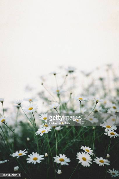 detail of white daysies under blue on springtime - chamomile tea stock pictures, royalty-free photos & images