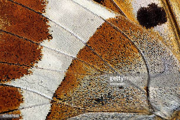 Detail of wing of Purple Emperor, Apatura iris