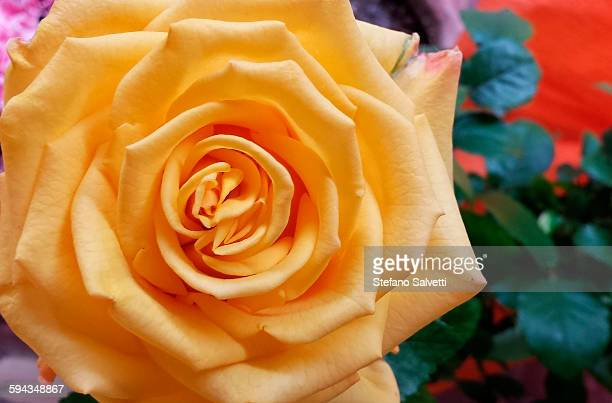 detail of yellow rose - massa stock pictures, royalty-free photos & images