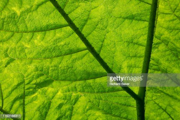 A detail on the underside of a giant leaf of Gunnera manicata at The Royal Botanic Garden Edinburgh on 26th June 2019 in Edinburgh Scotland Gunnera...