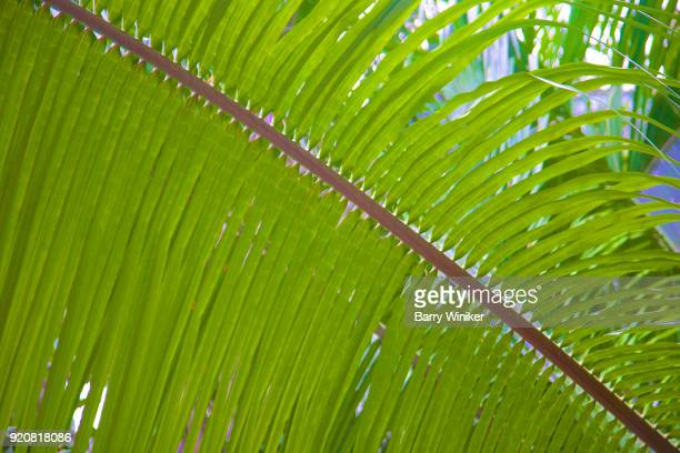 Detail, palm frond in Mahahual, Mexico