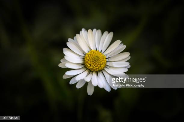 Detail photo of a daisy in the bush