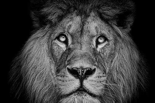 Detail portrait of a Beautiful lion, in the dark 1012372016