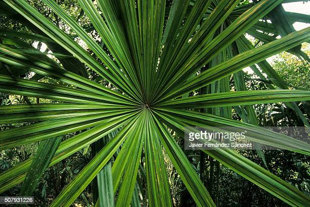 Detail radial design of the palmetto leaf in the jungle. Rainforest.