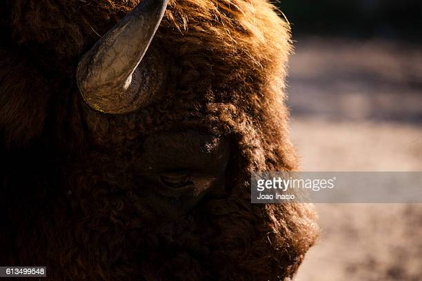 Detail shot of a bison