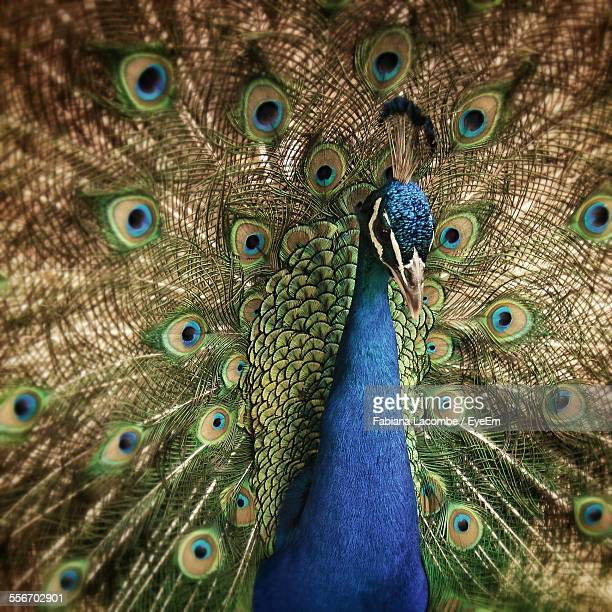 Detail Shot Of A Peacock