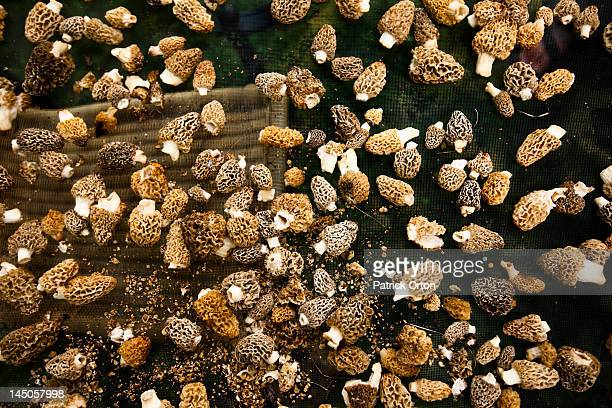 detail shot of freshly picked morel mushrooms drying in montana. - morel mushroom stock pictures, royalty-free photos & images