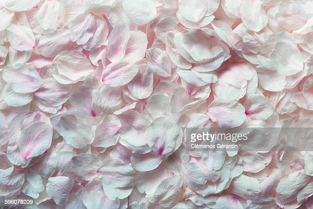 detail shot of pink rose petals - blütenblatt stock-fotos und bilder