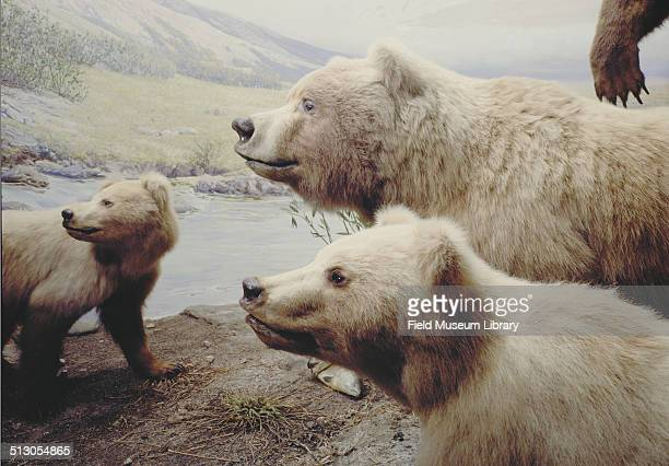 Detail view of a diorama showing a mammal group of Alaskan Brown Bear with the largest in the group standing over nine feet tall hall 16 Field Museum...