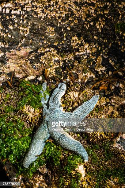 detail view of a sea star in a tidal pool, hesketh island, homer, southcentral alaska, usa - home run ストックフォトと画像