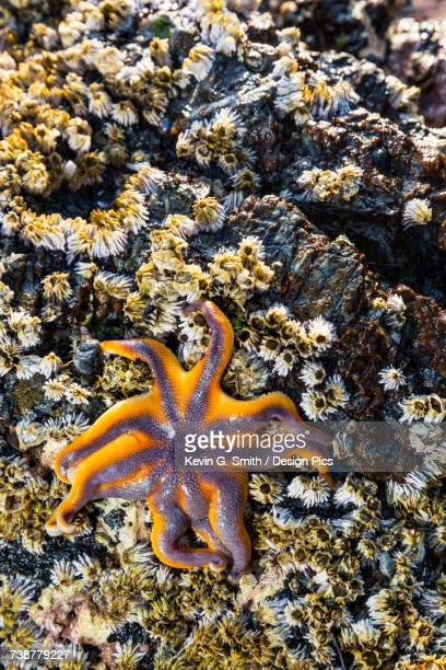 detail view of a sea star in a tidal pool with barnacles, hesketh island, homer, southcentral alaska, usa - home run ストックフォトと画像