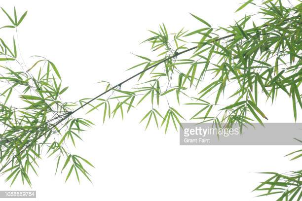 detail view of bamboo branch. - 竹 ストックフォトと画像