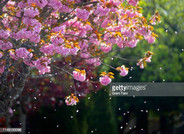 cherry tree blossoms falling down to