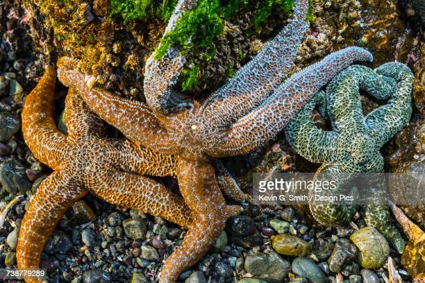 detail view of sea stars in a tide pool on hesketh island - home run ストックフォトと画像