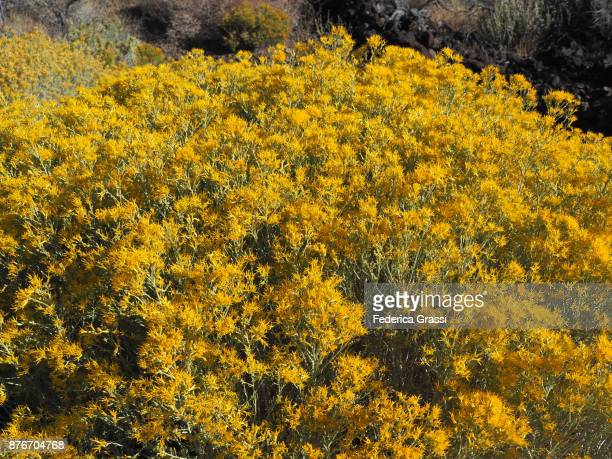 Detail View of Yellow Chamisa Flowers, California